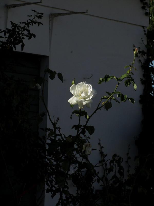 That Rose