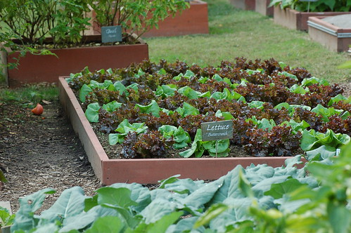 A bed of lettuce in the White House vegetable garden