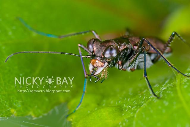 Tiger Beetle (Cicindelinae) - DSC_4790