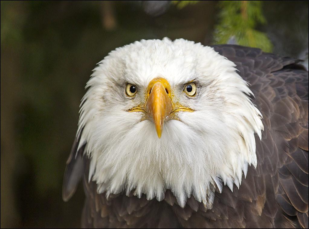bald eagle portrait 1