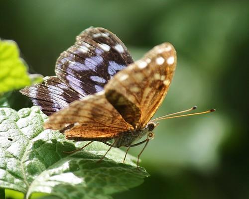 butterfly grande state lepidoptera mexican estero llano bluewing ethusa esterollanogrande parkweslacohidalgo countytxlepidopterabutterflymyscelia