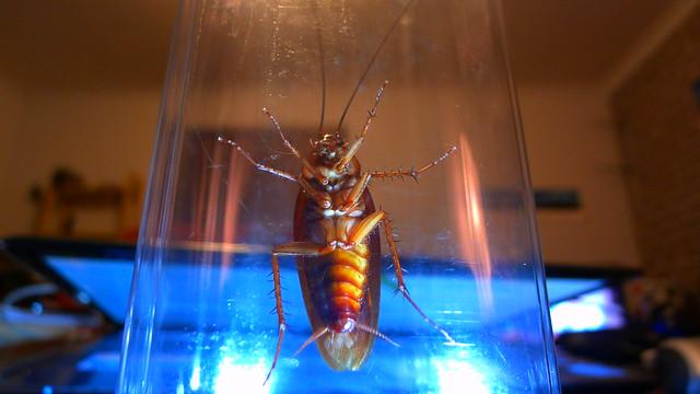 Cockroach Maylandis