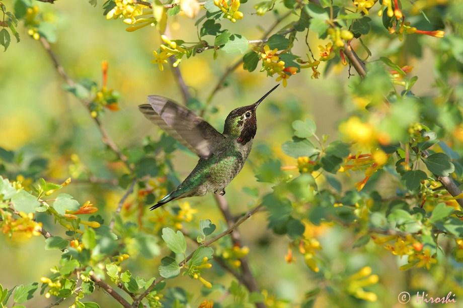 Anna's Hummingbird 112912-7