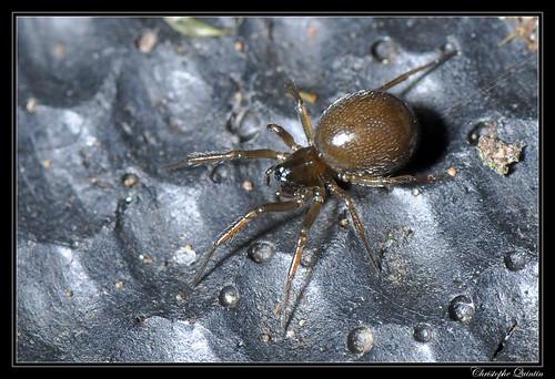 Araignée inconnue (Theridiidae ou Linyphiidae)