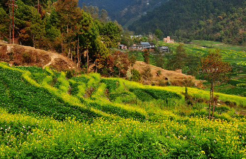 nepal house flower village bokeh terrace 花 canola rapeseed 油菜花 鄉村 rapeseedfield 尼泊爾 梯田 農村 sankhu 散景 桑庫