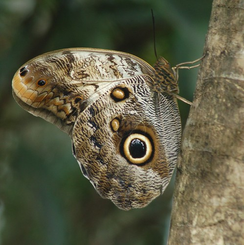Colorful large-eyed Owl hangs on palm trunk by jungle mama