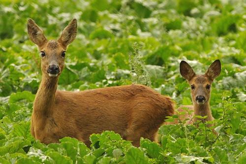 [フリー画像素材] 動物 (哺乳類), 鹿・シカ, 動物 - 親子 ID:201212121000