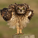 Short eared owl (2 of 3) by Through The Big Lens