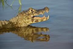reflecting caiman