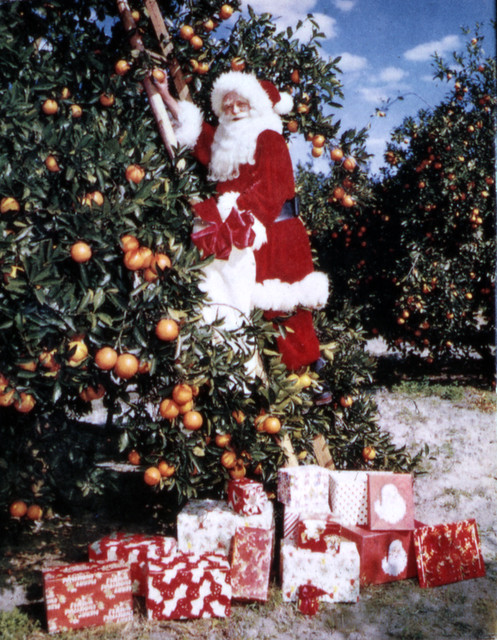 Santa Claus picking oranges from Flickr via Wylio