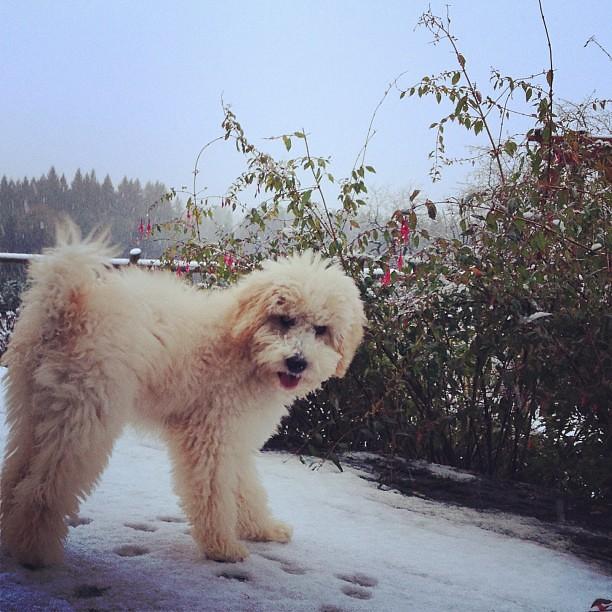 Georgie's first taste of snow...yum yum!