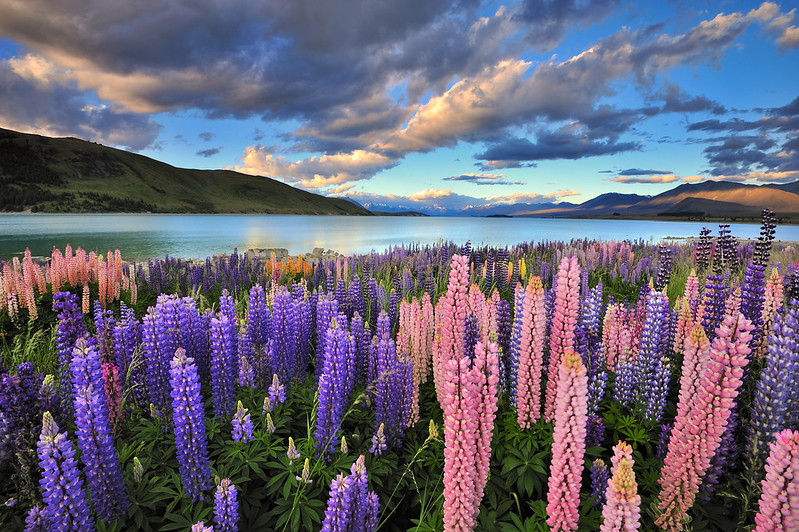 Lupins at Lake Tekapo by Nadly Aizat, on Flickr