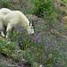 Mountain Goat in Wildflowers by Jeff Clow