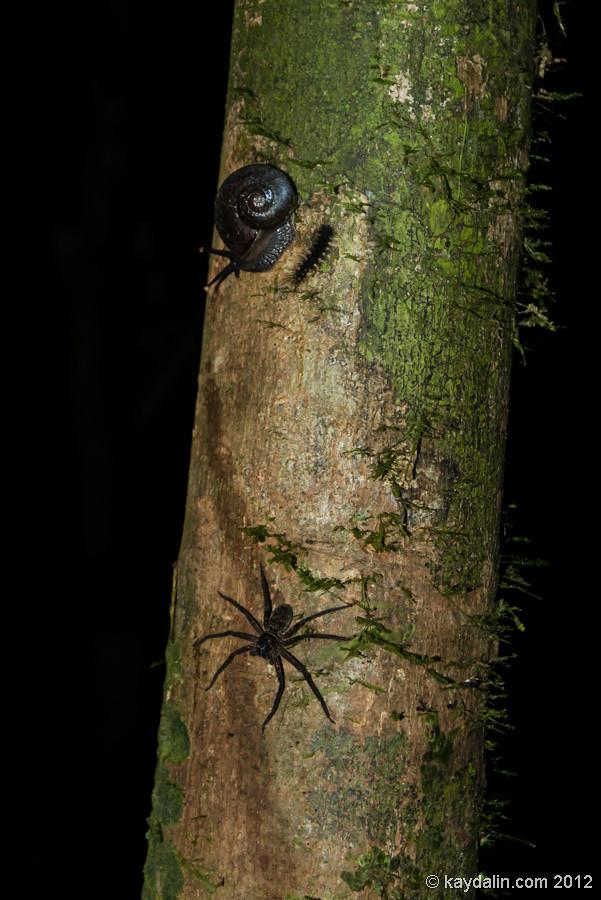паук, мулу парк, малайзия