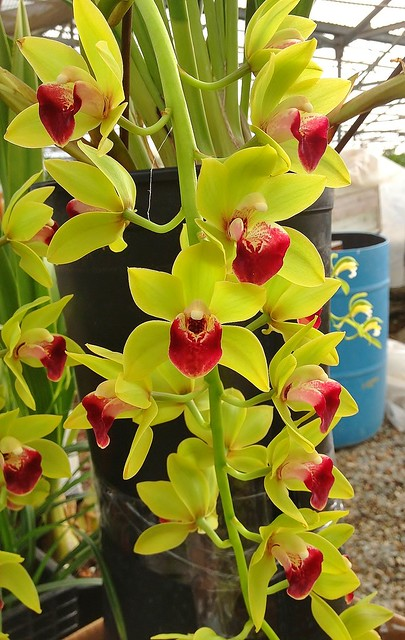 Cymbidium Emeralds and Rubies 'Phyllis' AM/AOS