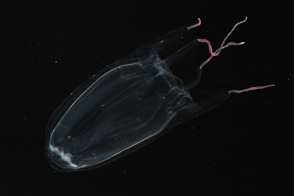 <p>Hawaiian Box Jellyfish Alatina moseri. photo by Eric Rottinger and Angel Yanagihara</p>