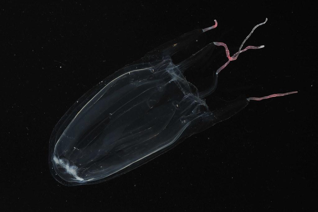 <p>Hawaiian Box Jellyfish Alatina moseri. photo by Eric Rottinger and Angel Yanagihara</p>