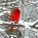 Northern Cardinal in Snow Storm, Reworked by Shannonsong