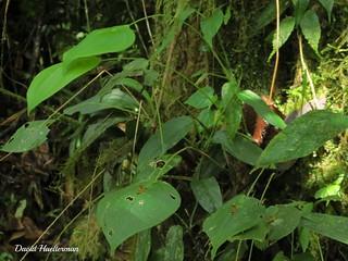 Pleurothallis (Acronia) sp. in situ, Valle del Dagua, Valle del Cauca, Colombia