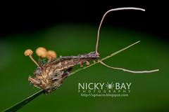 Robberfly (Asilidae) - DSC_1484