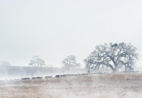 california county morning trees mist tree fog landscape vineyard highway san wine country hills lone luis oaks templeton 46 obispo madrone mfcc treesdiestandingup