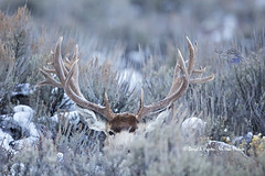 Huge Mule Deer Buck by Daryl L. Hunter - The Hole Picture
