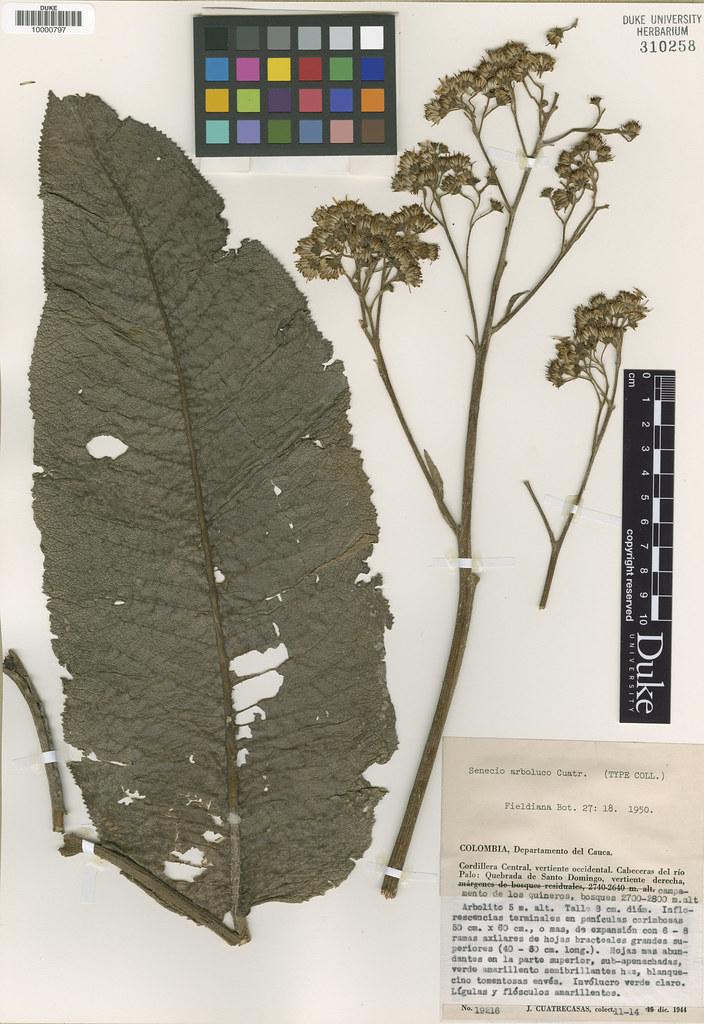 Asteraceae_Senecio arboluco