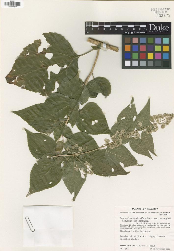 Asteraceae_Eupatorium scabrellum