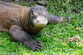 Komodo dragon … dangerous ? | by Jerome Nicolas