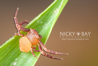 Crab Spider (Thomisus sp.) - DSC_3444