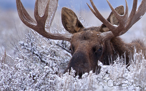 A Moose Hidden in the Snow by chasedekker