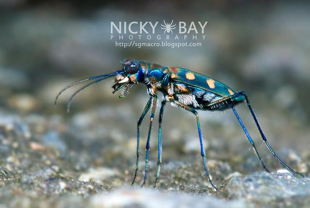 Tiger Beetle (Cicindelinae) - DSC_9810
