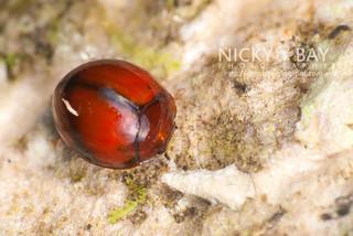Darkling beetles (Tenebrionidae) - DSC_0333