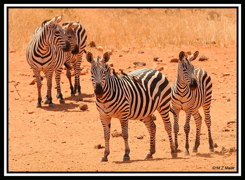 COMMON ZEBRAS (Equus burchelli)....TSAVO WEST NAT.PARK....OCT 2012