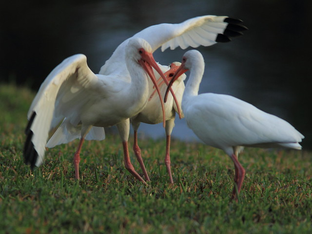 White Ibis squabble 20121230