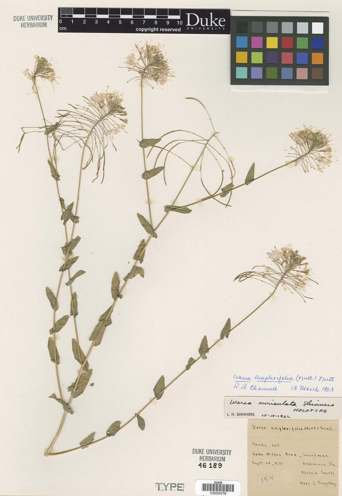 Brassicaceae_Warea auriculata
