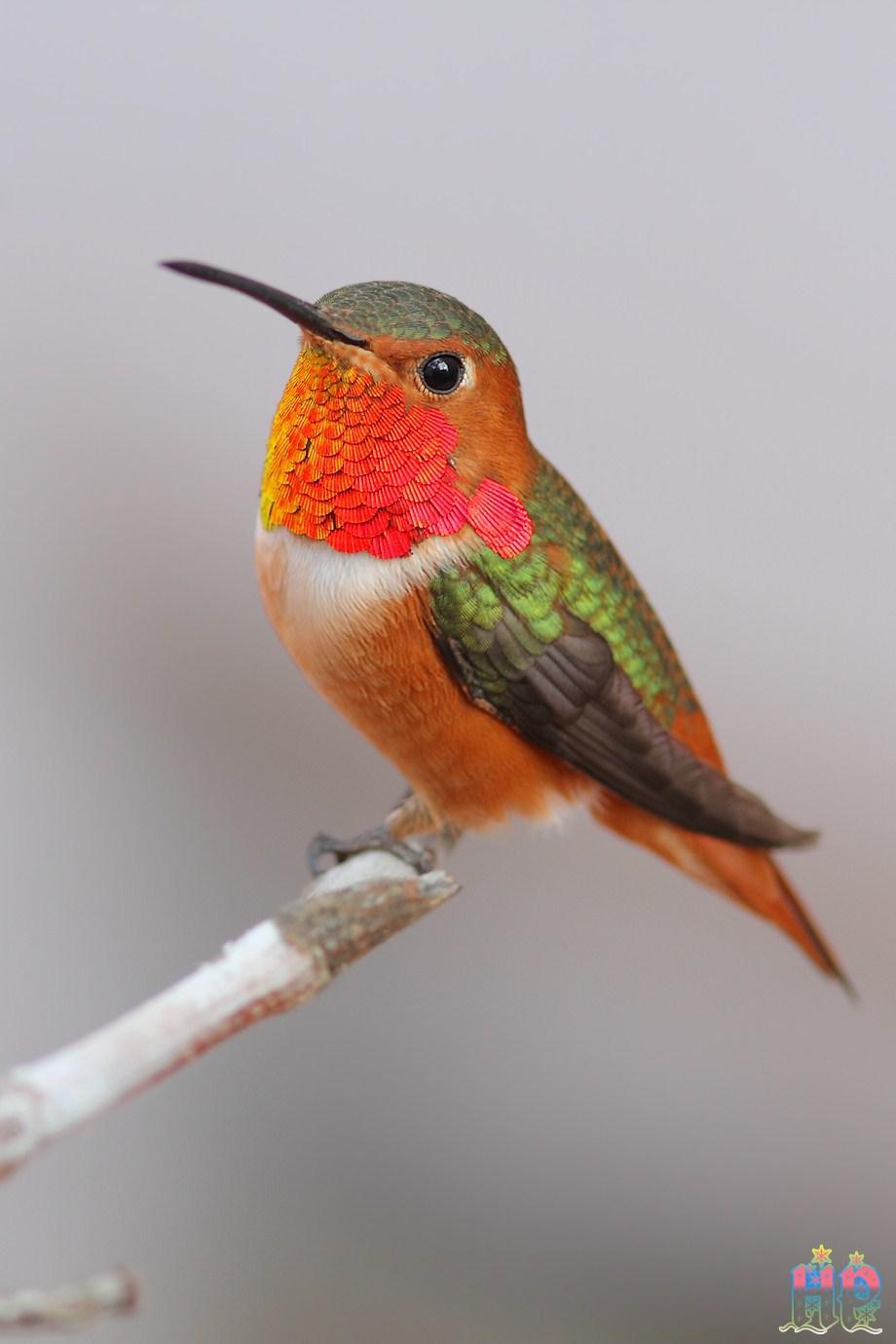 Allen's Hummingbird 010213