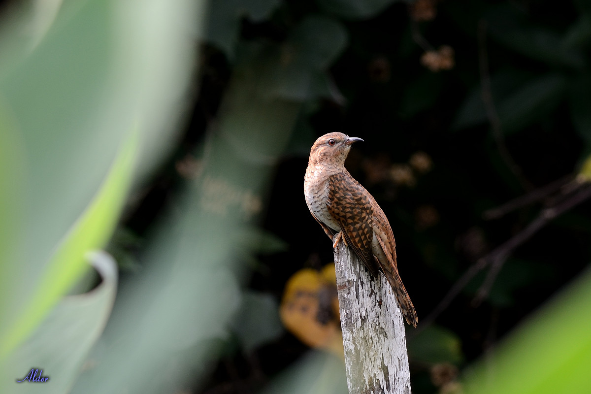 Plaintive_Cuckoo_2201