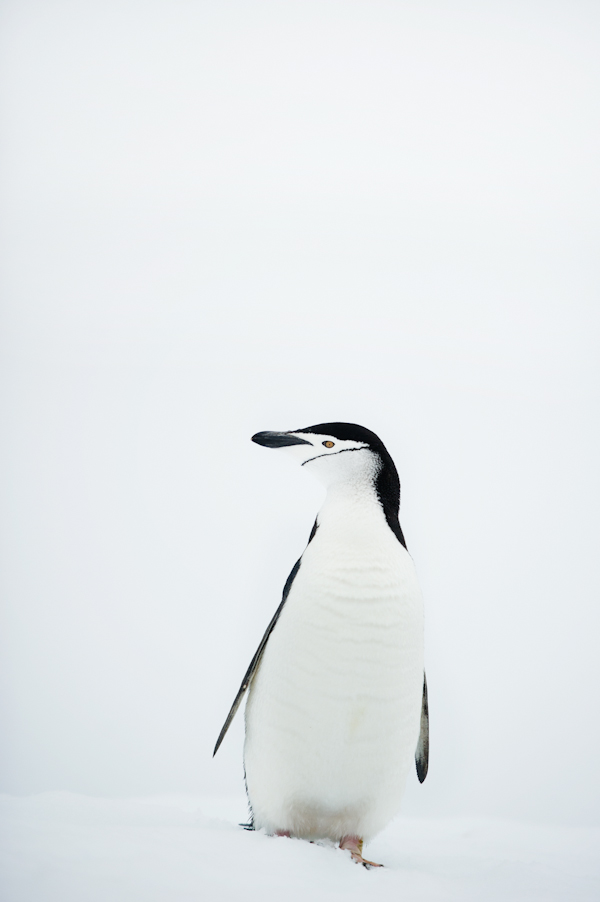 RYALE_Antarctica_Penguins-32