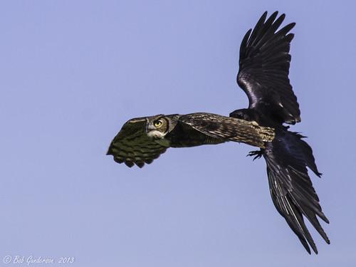 california birds northerncalifornia owls greathornedowl centralvalley bubovirginianus corvuscorax commonraven corvids jepsonprairie slbflying slbharassing