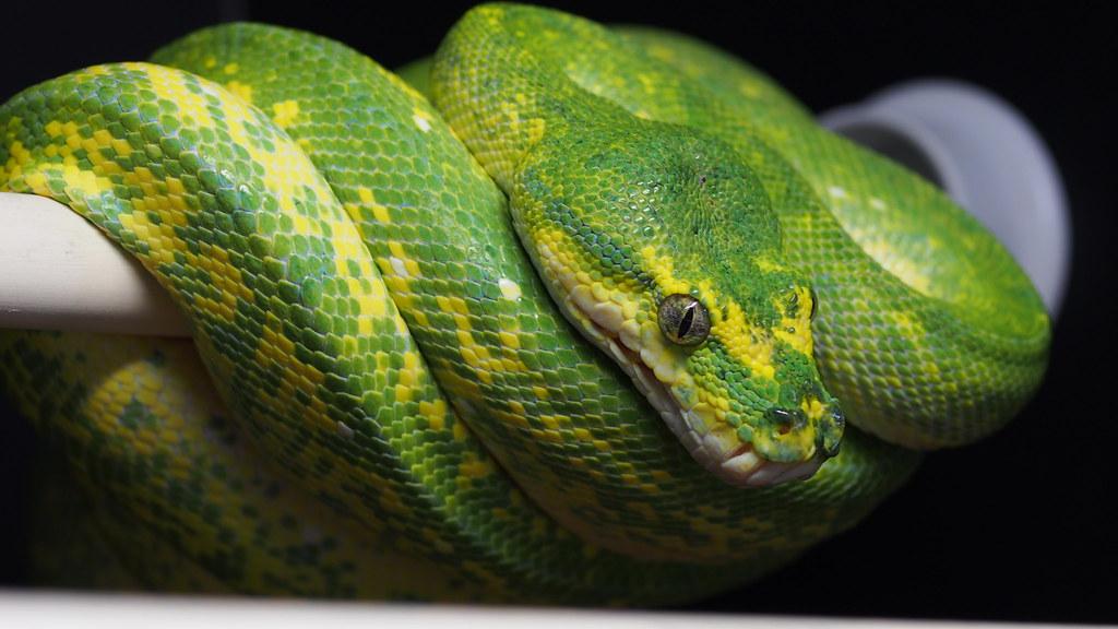 Green Tree Python Morphs