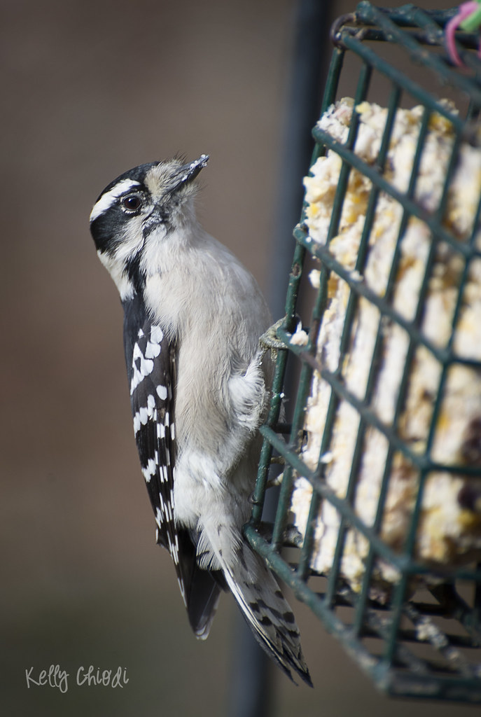 downy woodpecker WM