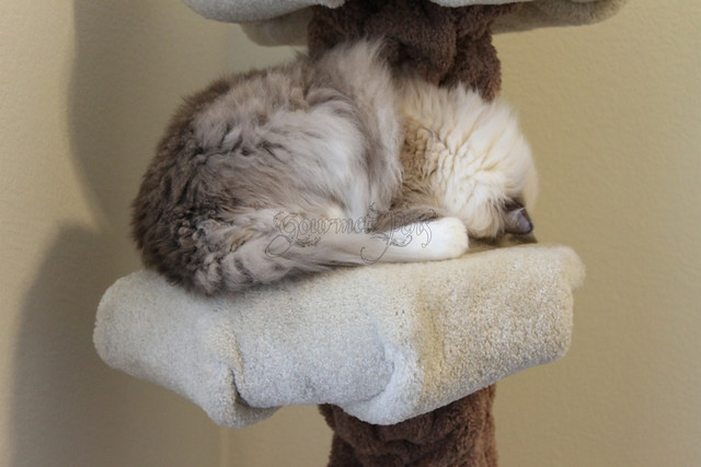 Tyco the Ragdoll Curls Up