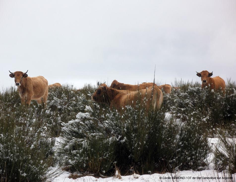 Les vaches Aubrac de Sainte-Geneviève sur Argence