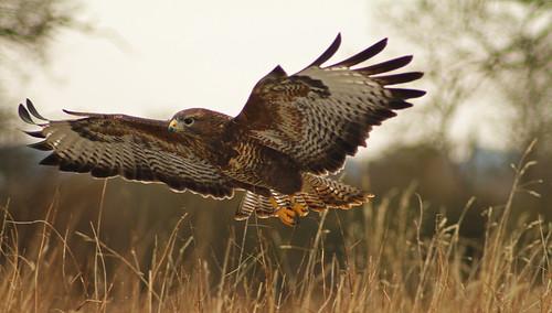 wings flight feathers gloucestershire explore raptor gloucester buzzard leighton glide commonbuzzard hempsted explored europeanbuzzard barnowlcentre netheridgefarm