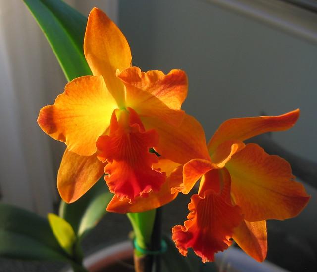 Orchid: Firecracker