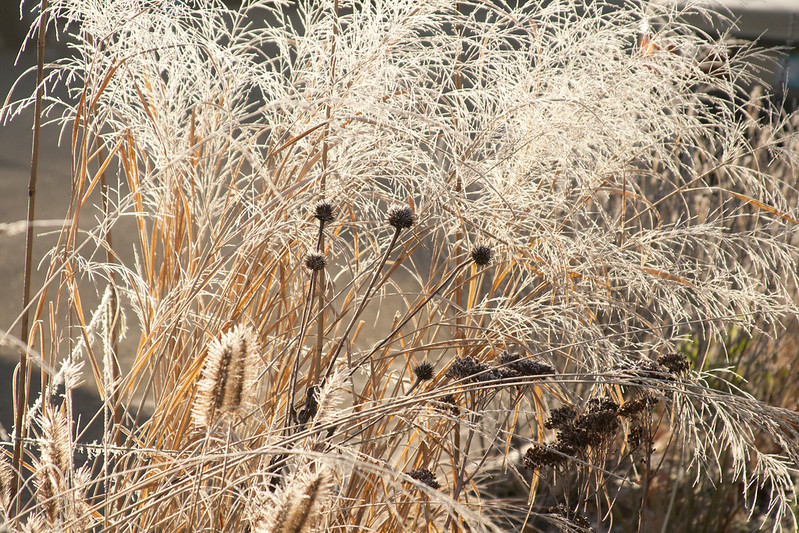 Frost Grasses