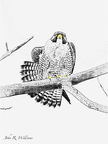 Peregrine Falcon Sketch Peregrine Falcon Digital
