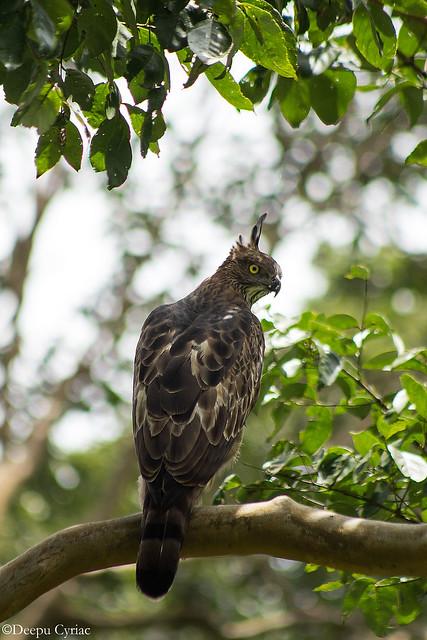 Crested Hawk Eagle/Changeable Hawk Eagle