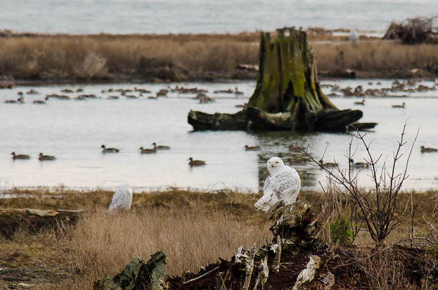 Snowy Owls of Boundary Bay